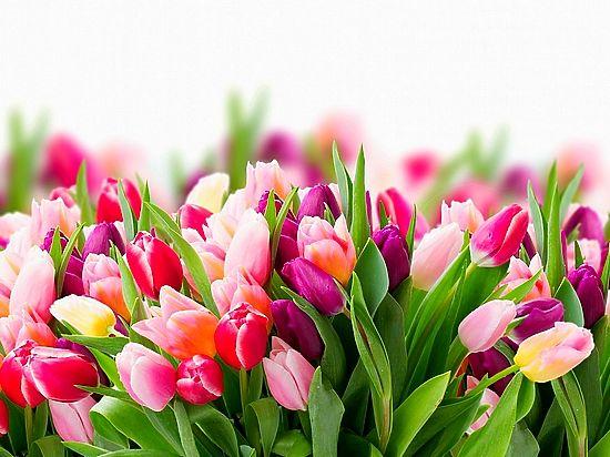 В Хабаровске выращивают «секретные» тюльпаны