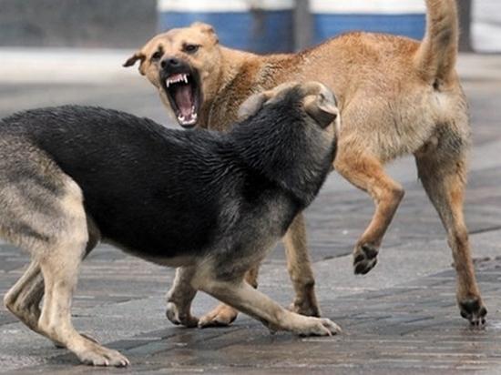 В Хабаровске ведется проверка по факту нападений собак на людей