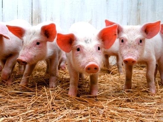 Африканская чума угрожает хабаровским свиньям