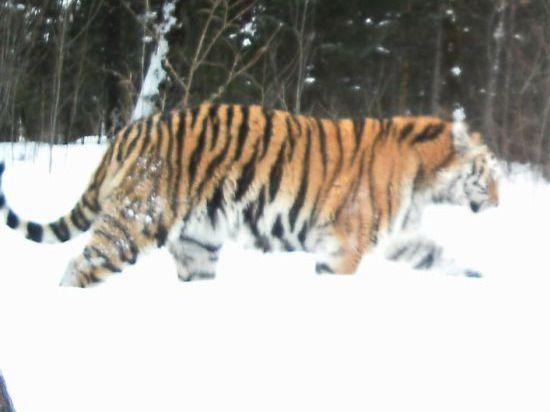 Самая северная группировка тигров обжилась в Хабаровском крае